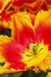 Keukenhof y Campos de flores
